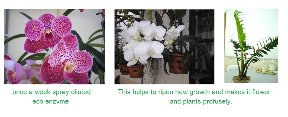 使用环保酵素后,新长出的枝干比原来更加粗壮 English。