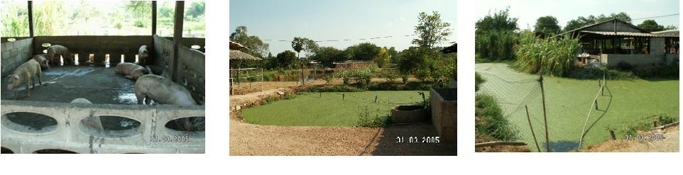 泰国养猪场2
